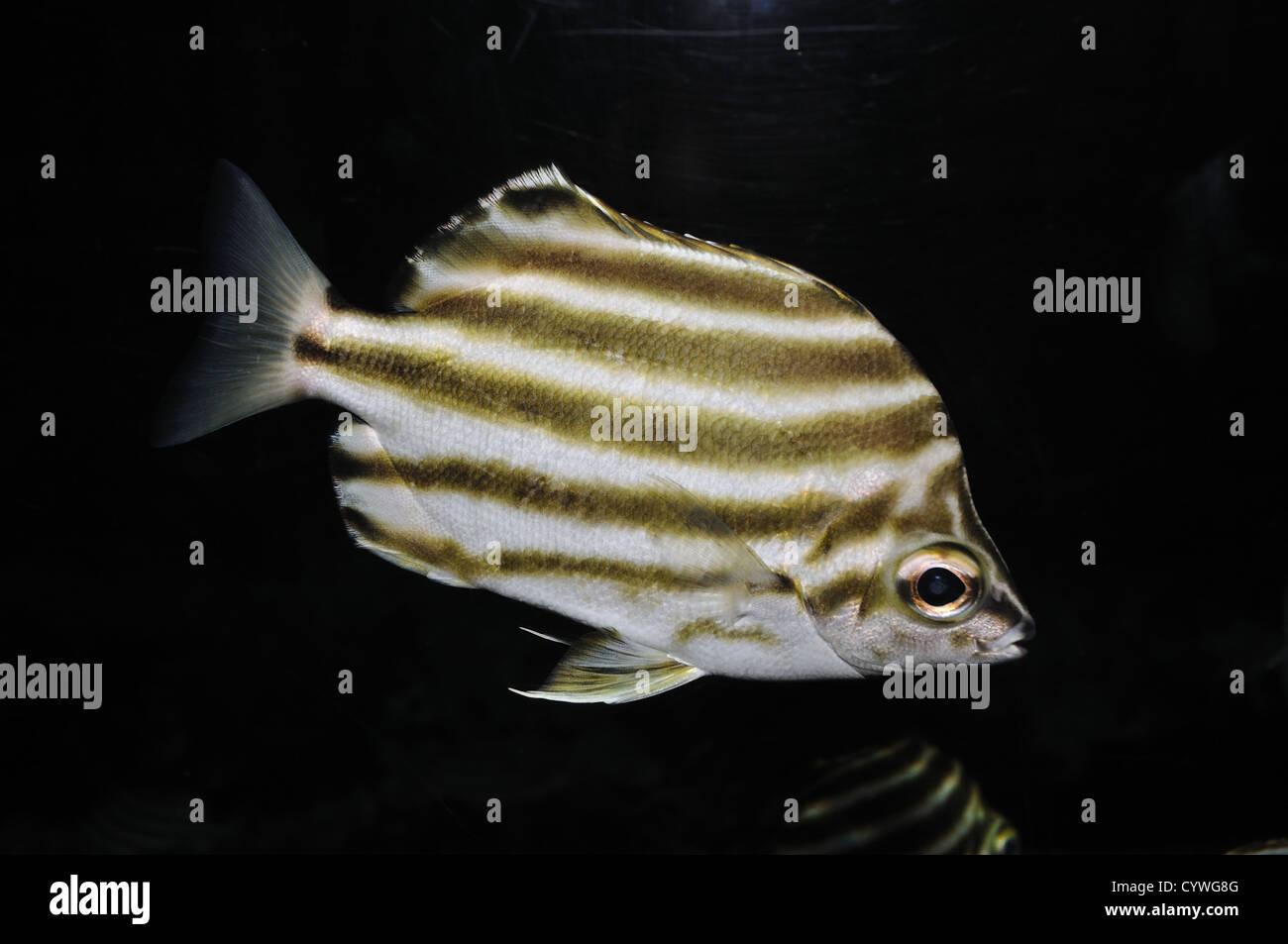 Stripey australiano pez contra fondo negro Imagen De Stock