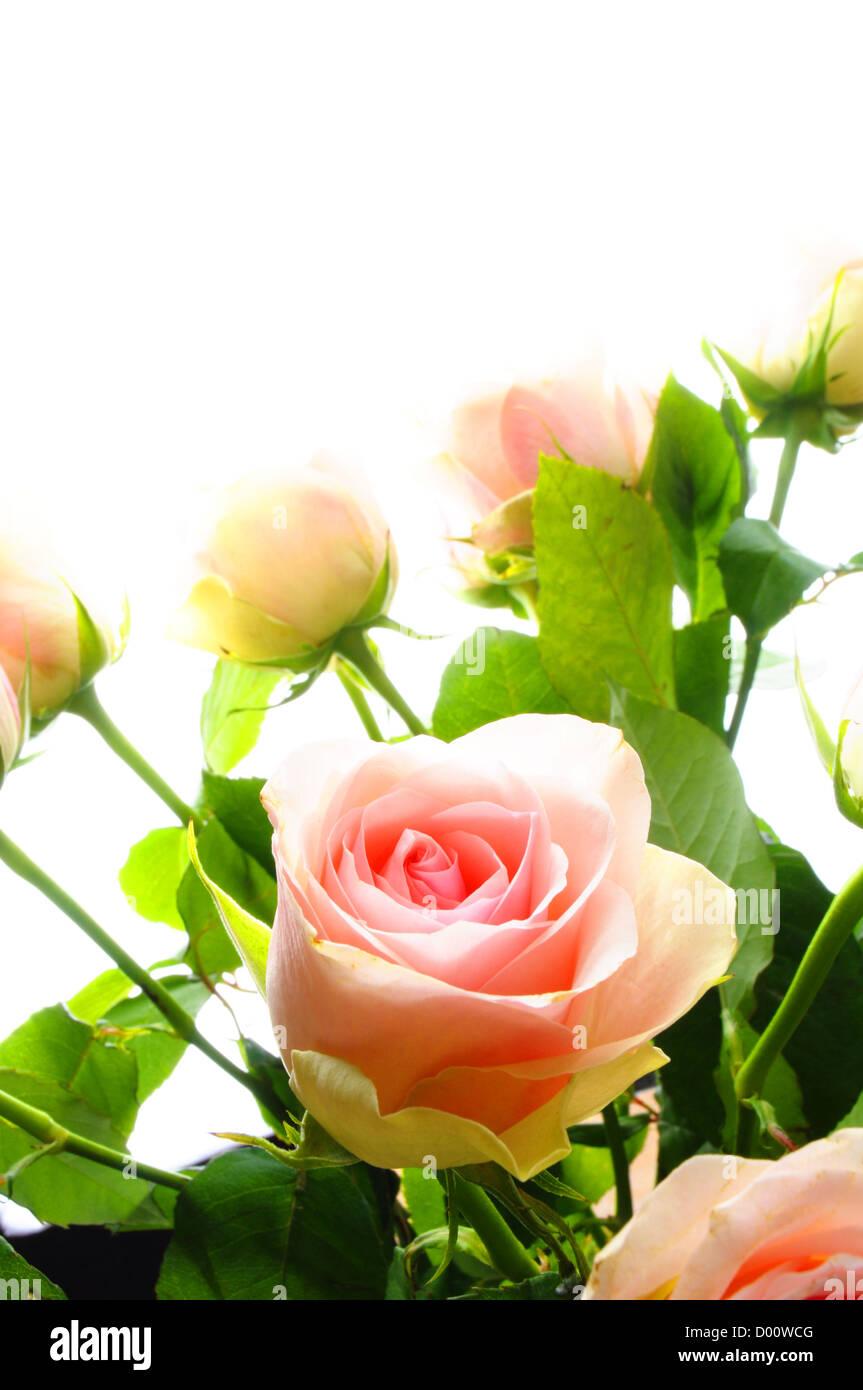 Flor rosa mostrando amor amor o aniversario concepto Imagen De Stock