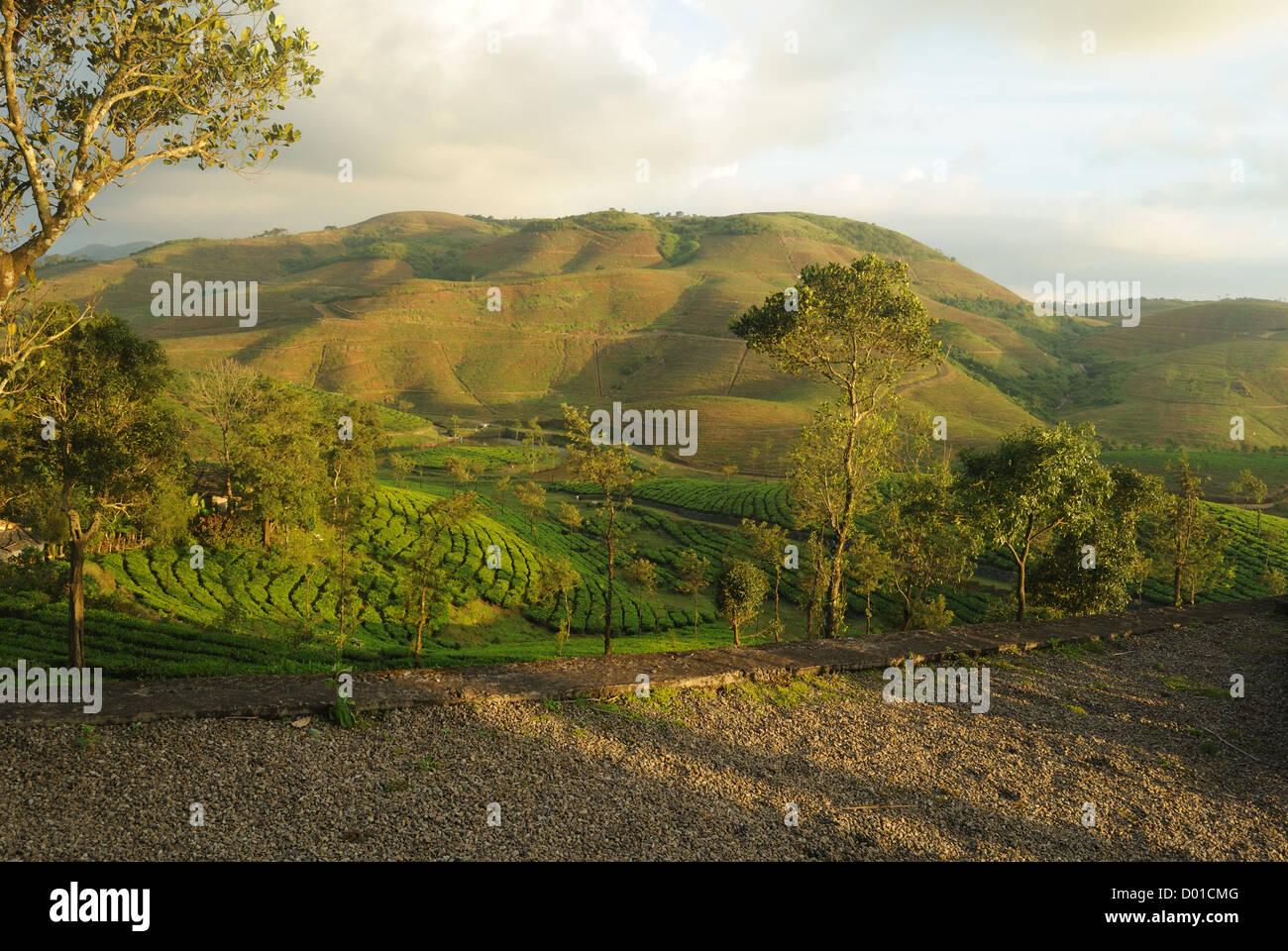 Plantación de té,hill,contour,vagamon. Imagen De Stock