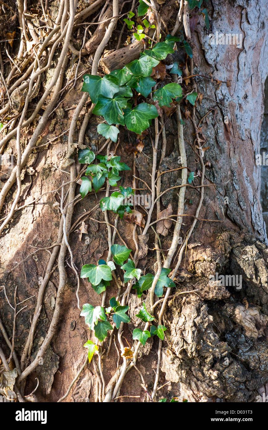 Una hebra de ansiosos ivy escalada hacia arriba en un viejo tronco de árbol Imagen De Stock