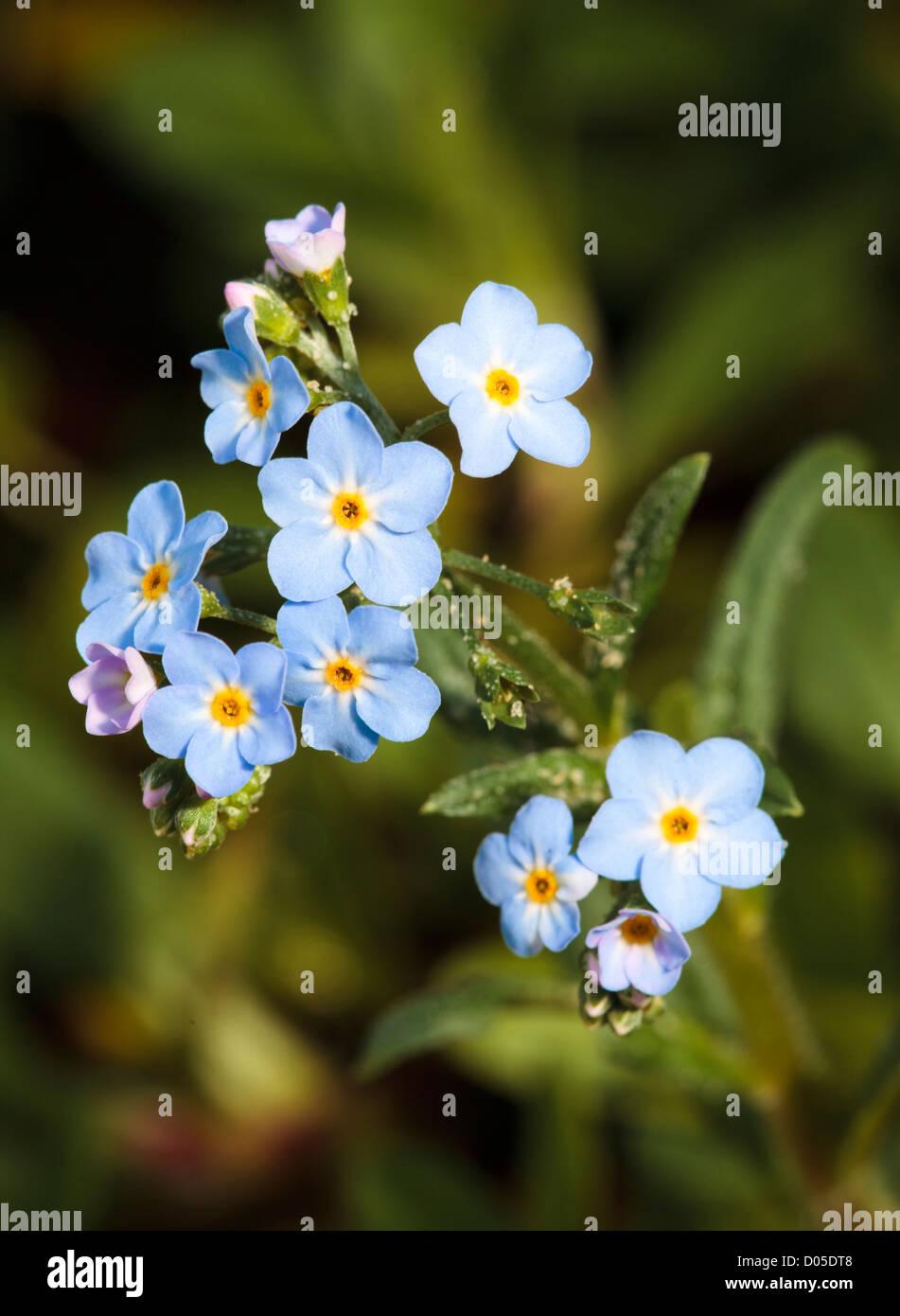 Myosotis scorpioides - Agua Forget-me-not - planta en flor. Imagen De Stock