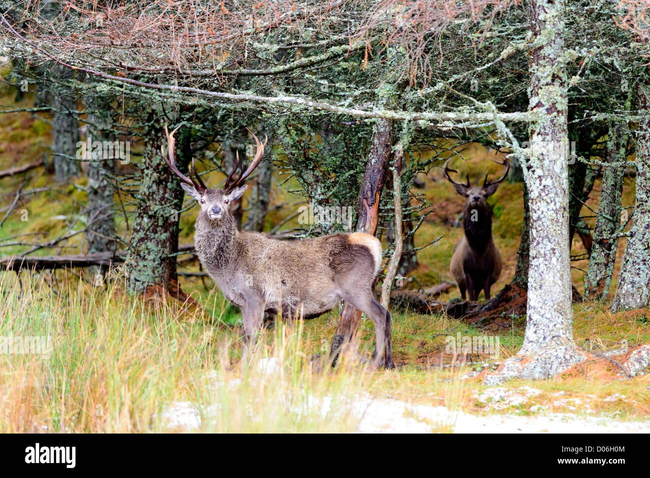 Red Deer stags contra pinos fotografiado en los Cairngorms las Highlands escocesas Cervus elaphus Foto de stock