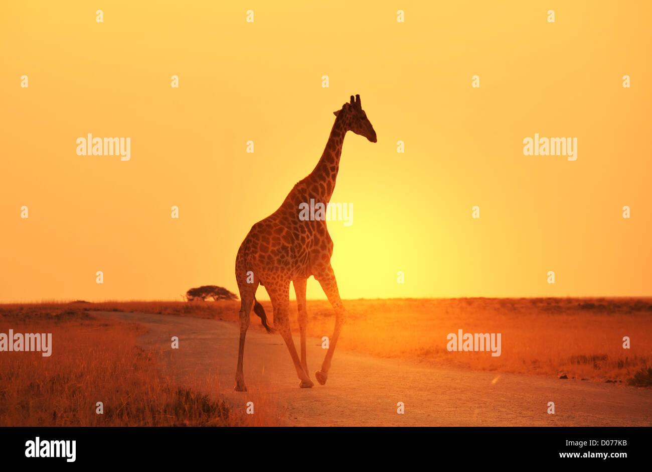 Jirafa en savannah Imagen De Stock