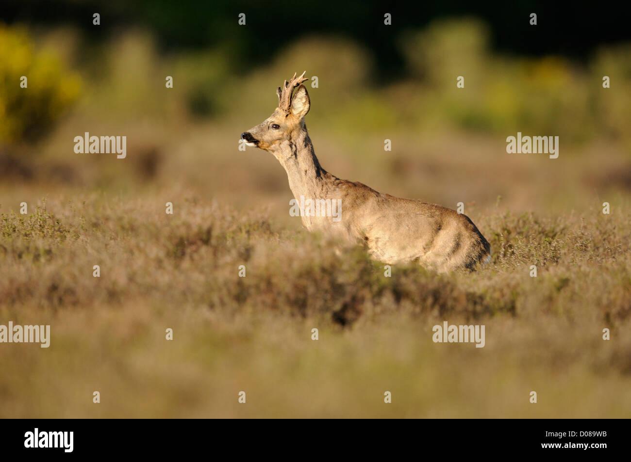 Western Corzo (Capreolus capreolus) macho de pie entre los brezos, Holanda, Mayo Foto de stock