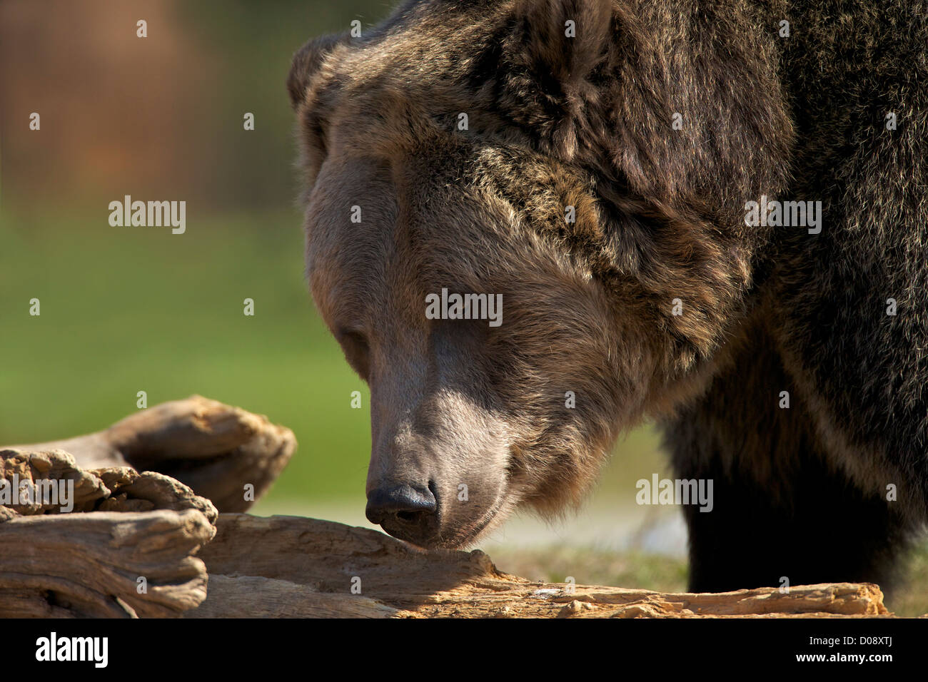 Grizzly Bear, Ursus arctos horribilis, el oso pardo y el lobo Discovery Center, West Yellowstone, Montana, EE.UU. Imagen De Stock