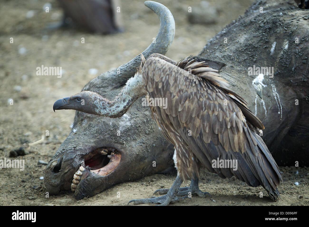 Vulture y Cape buffalo Game Reserve Mikumi despojos . El sur de Tanzania. África Imagen De Stock
