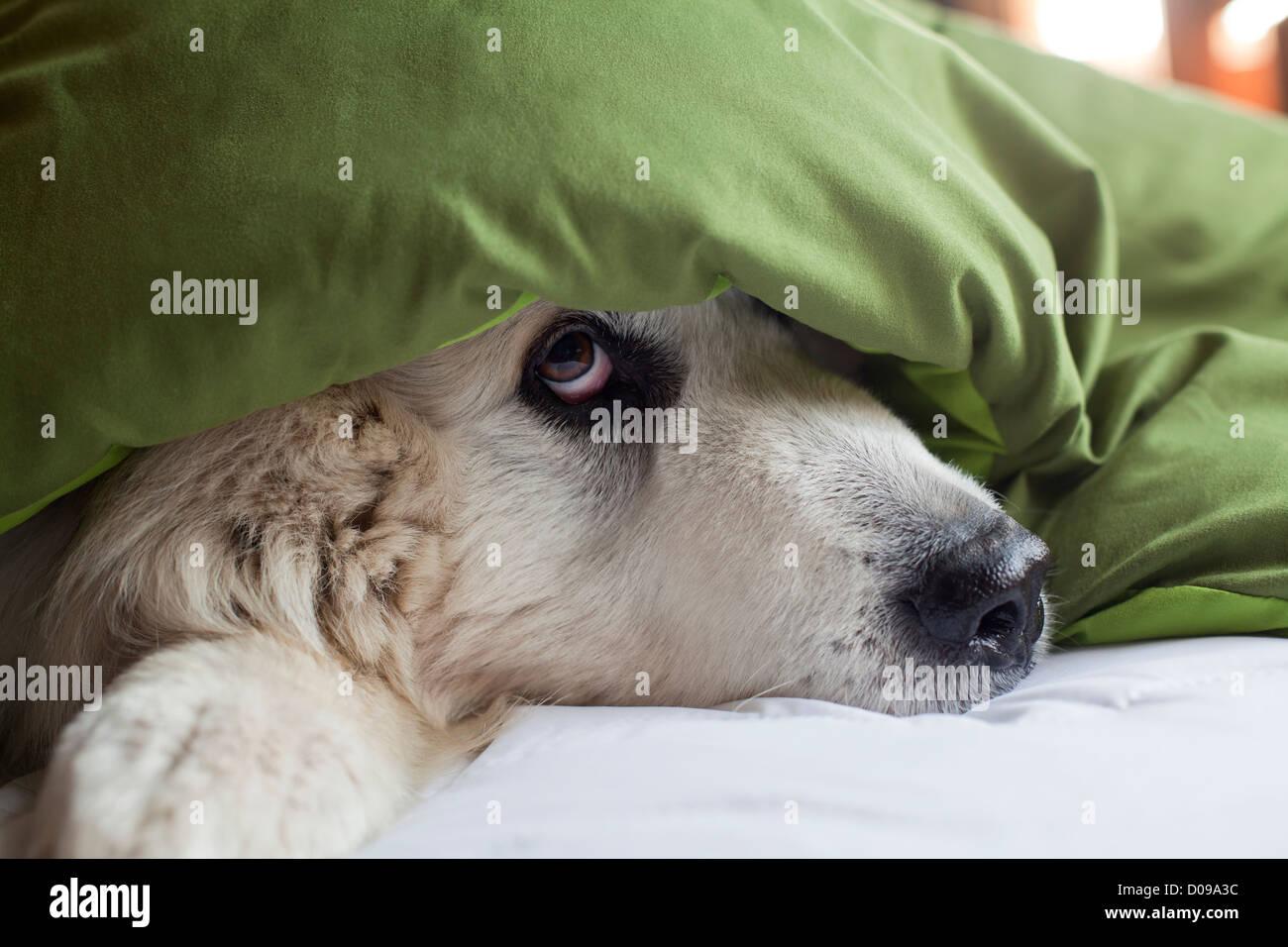 Gran Pirineos perro sobresale de debajo de la manta en la cama. Imagen De Stock