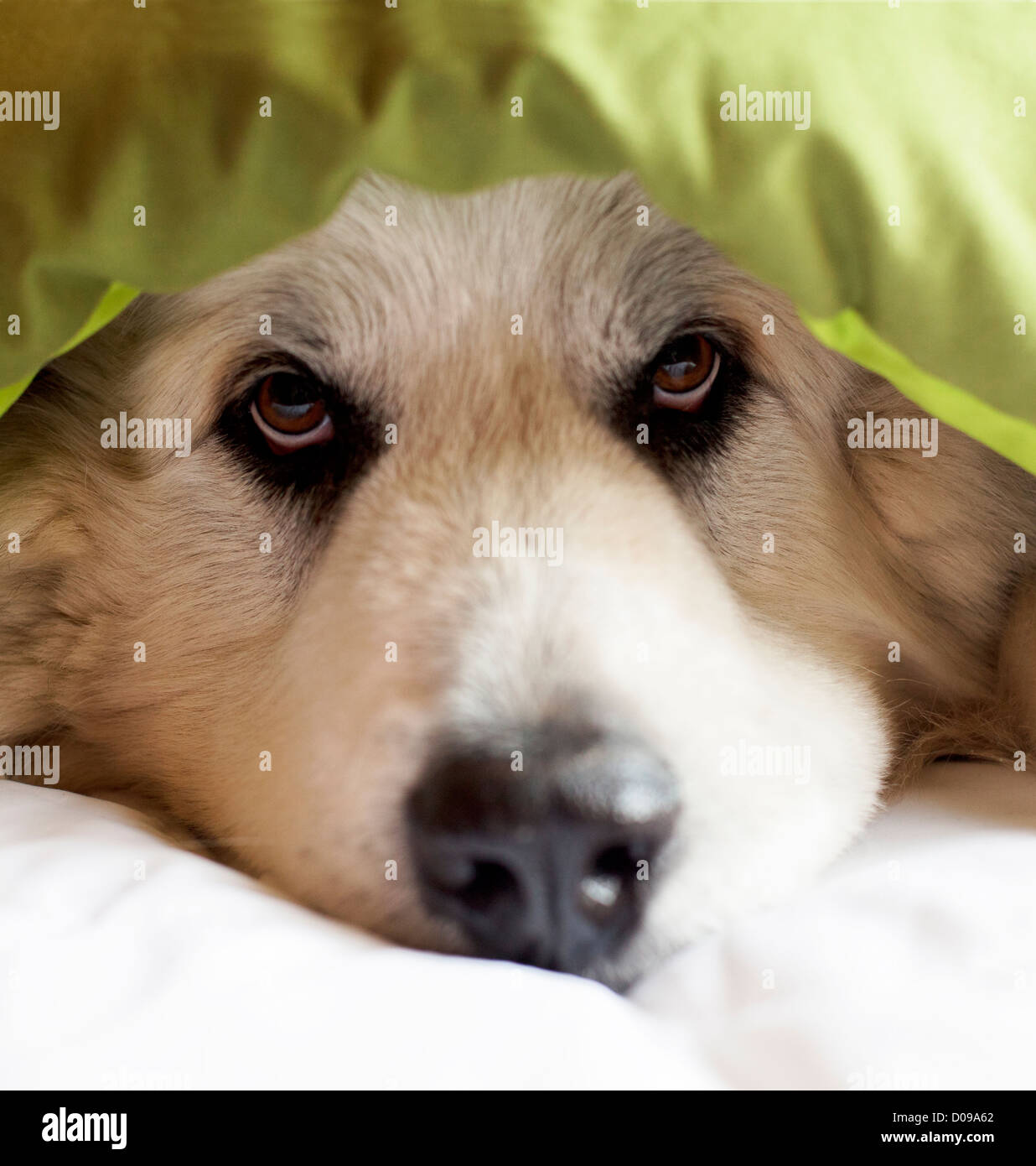 Gran Pirineos perro asoma desde manta. Imagen De Stock