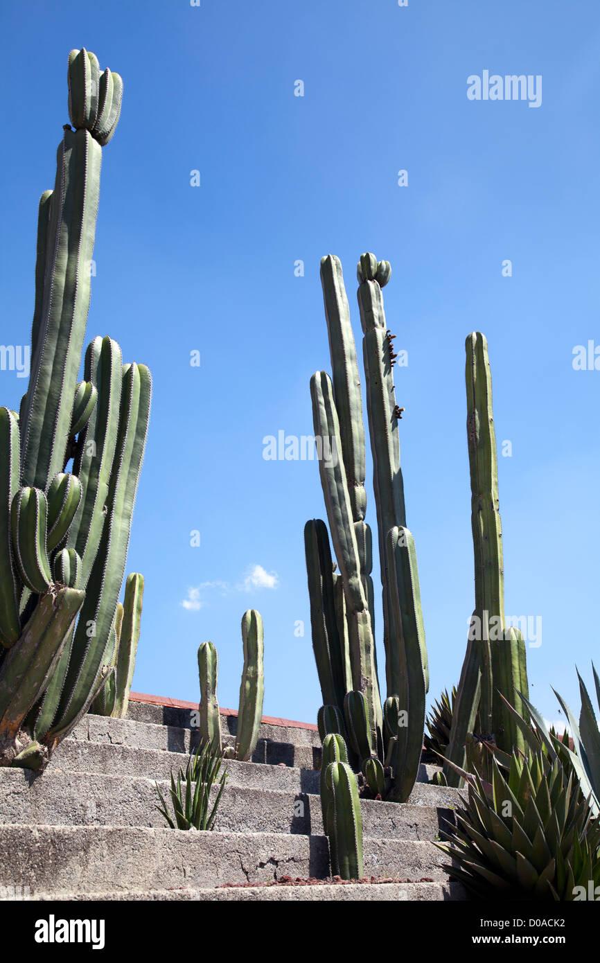 Pachycereus marginatus u órganos, cactus en México, Teotihuacán. Imagen De Stock