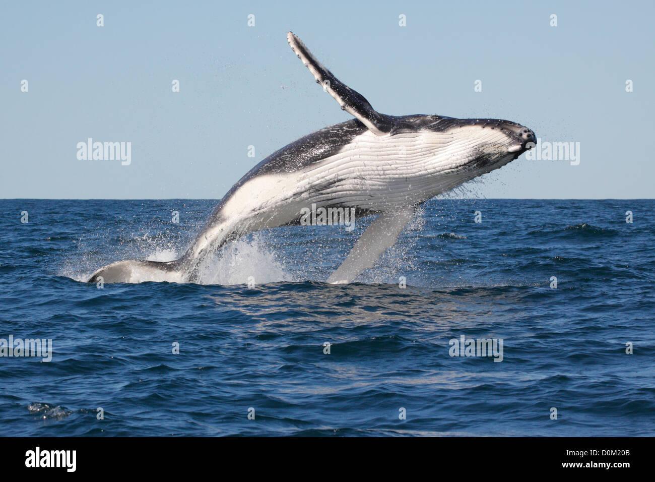 Jóvenes de la ballena jorobada (Megaptera novaeangliae) Infracción, saltando en Byron Bay, New South Whales, Imagen De Stock