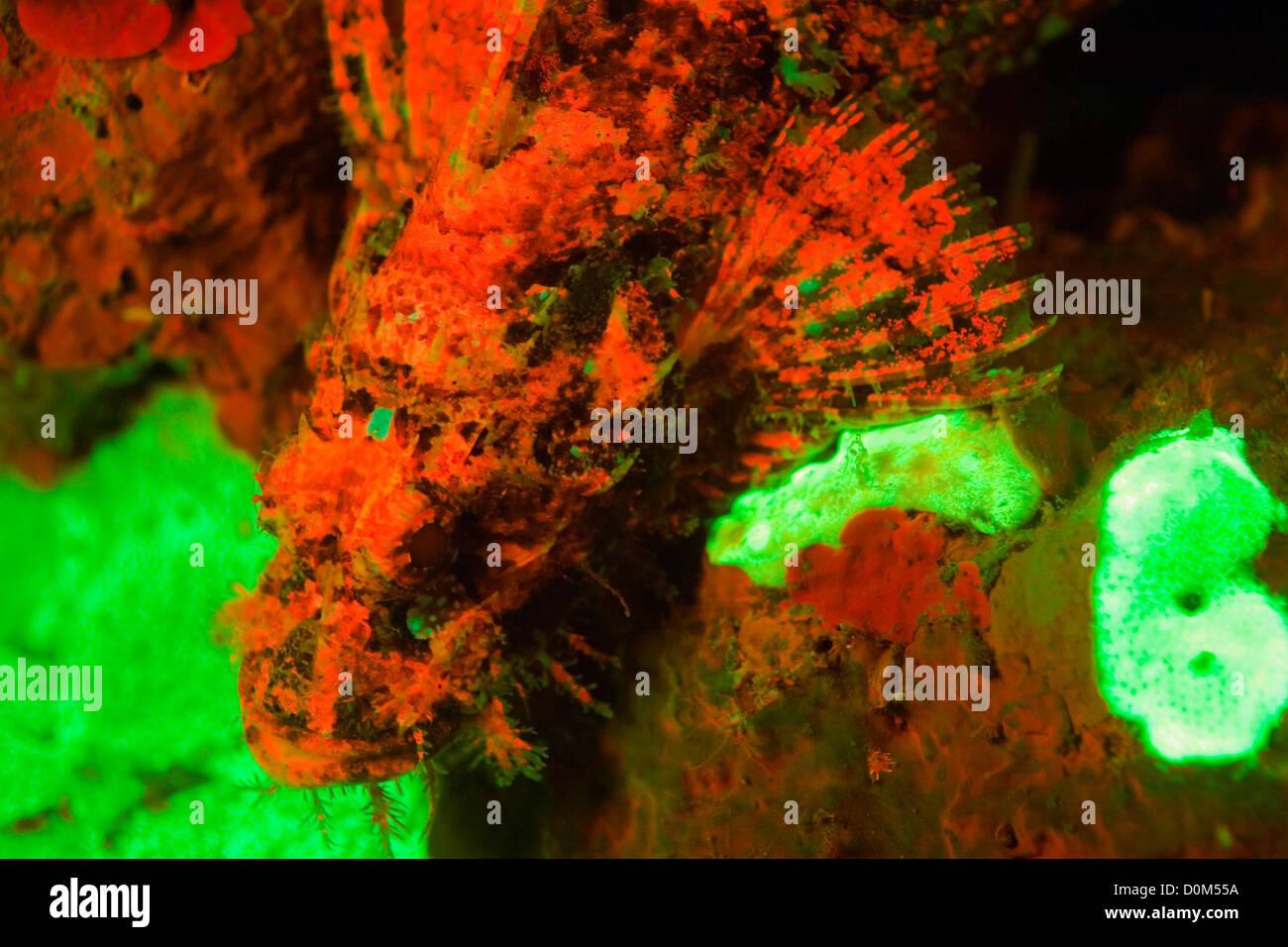 Los corales y Scorpionfish fluorescentes Foto de stock