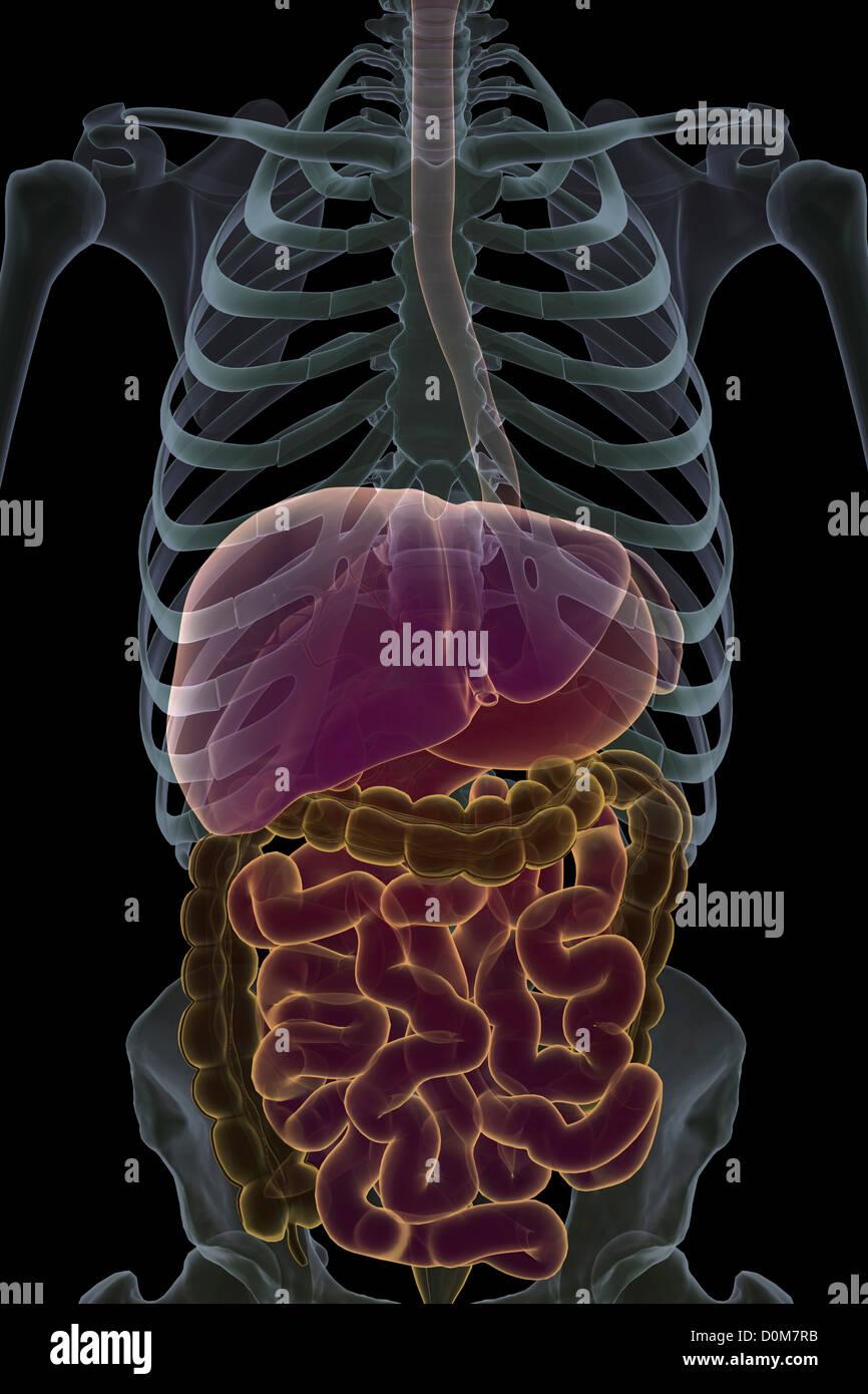 Liver Lobules Imágenes De Stock & Liver Lobules Fotos De Stock - Alamy