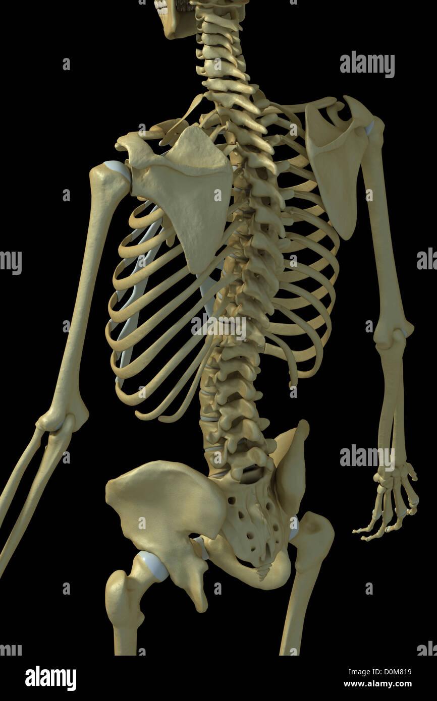 Vista trasera de tres cuartos de los huesos de las extremidades