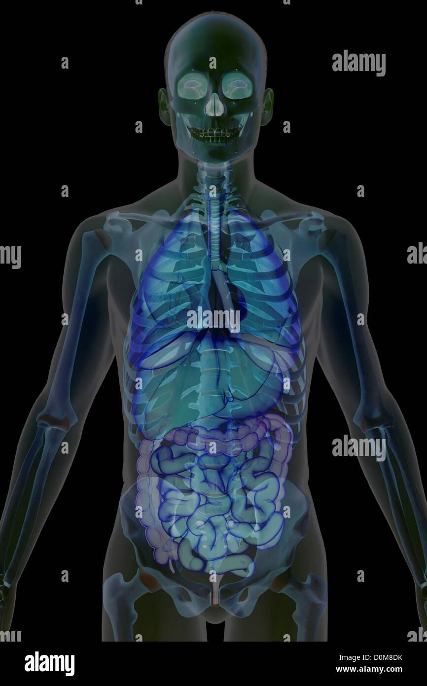 Hermosa Vista Frontal De órganos Humanos Foto - Imágenes de Anatomía ...