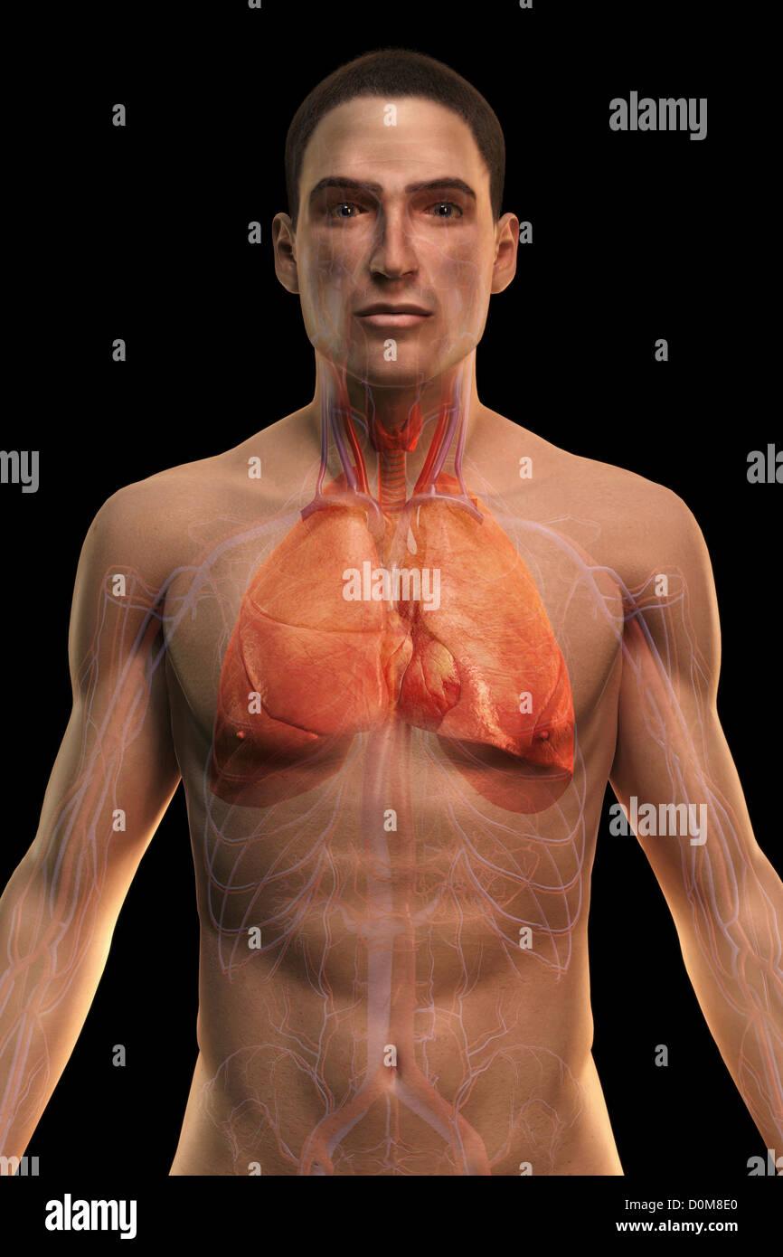 Vista frontal de la parte superior del cuerpo con los órganos de los ...