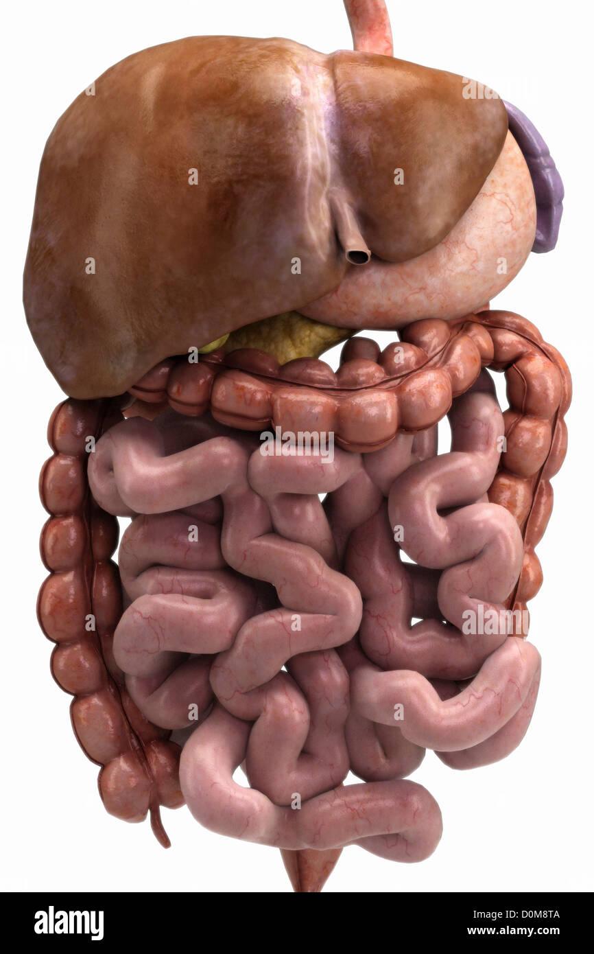 Vista frontal de los órganos del sistema digestivo Foto & Imagen De ...