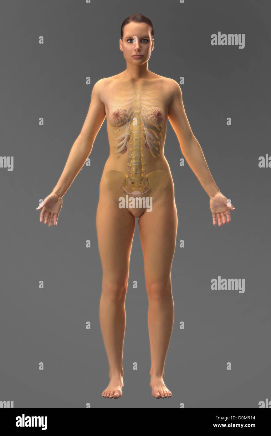 El sistema urinario (hembra) dentro del cuerpo visto desde el frente ...
