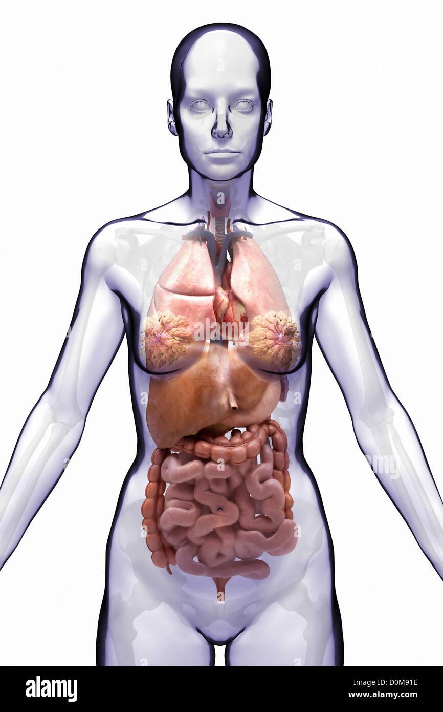 Vista frontal estilizada de los órganos internos del torso (hembra ...