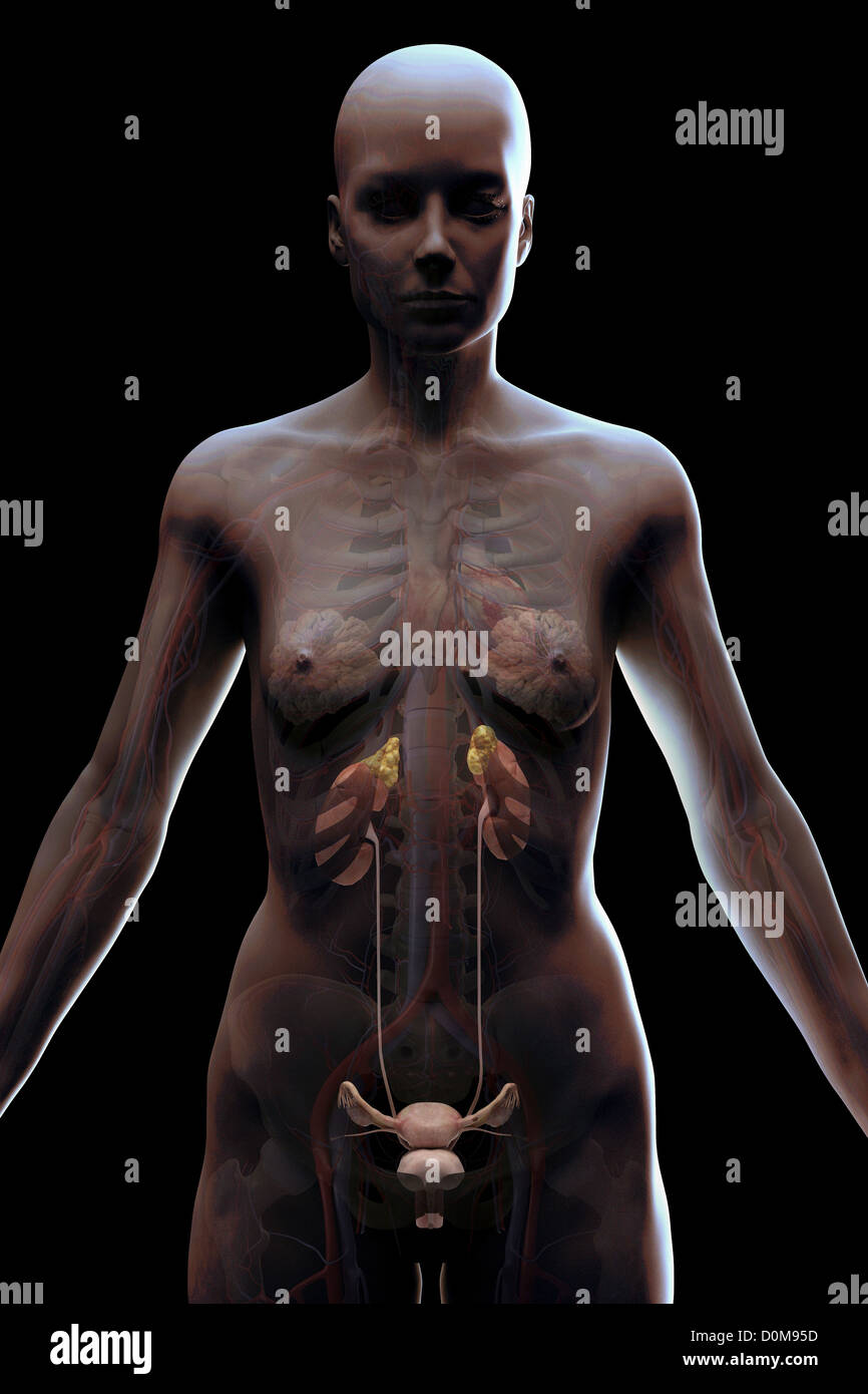 Female Adrenal Gland Imágenes De Stock & Female Adrenal Gland Fotos ...