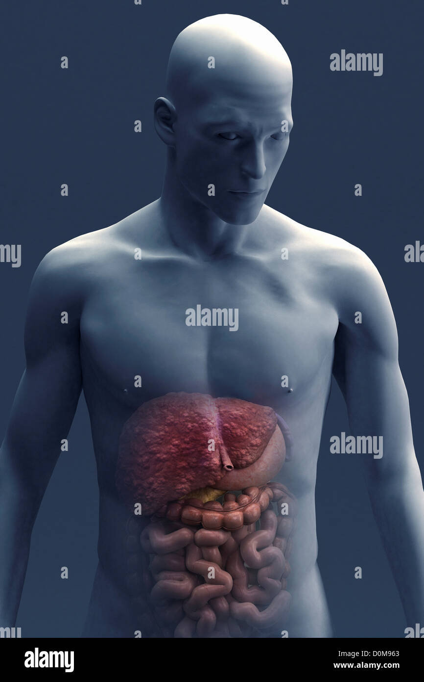 Vista frontal de los órganos del sistema digestivo en figura ...