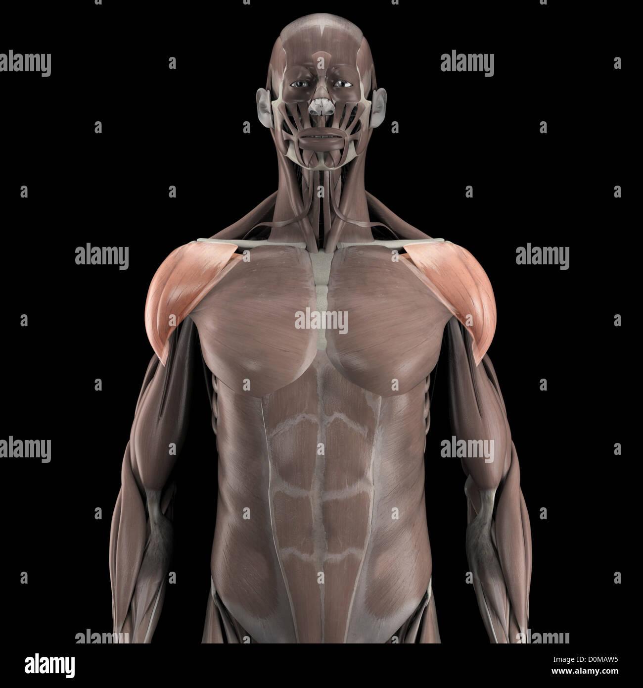 Moderno Ubicación Deltoides Modelo - Anatomía de Las Imágenesdel ...