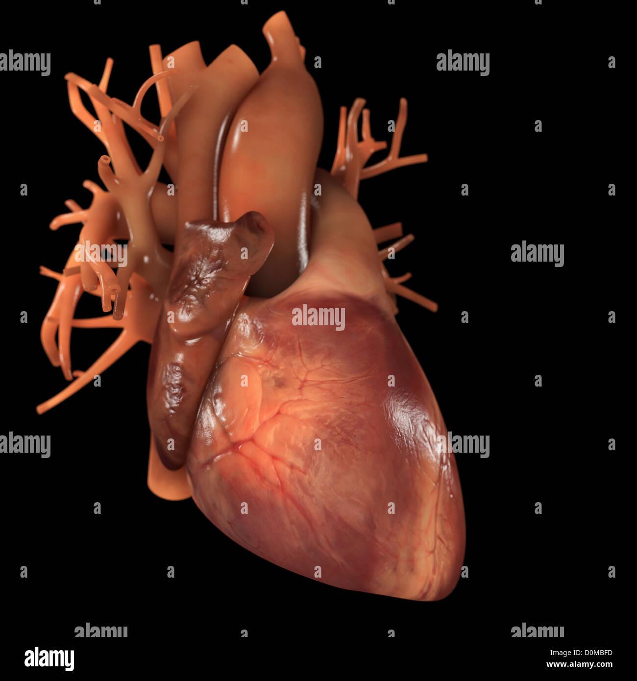 Diagrama de un corazón humano Foto & Imagen De Stock: 52079201 - Alamy