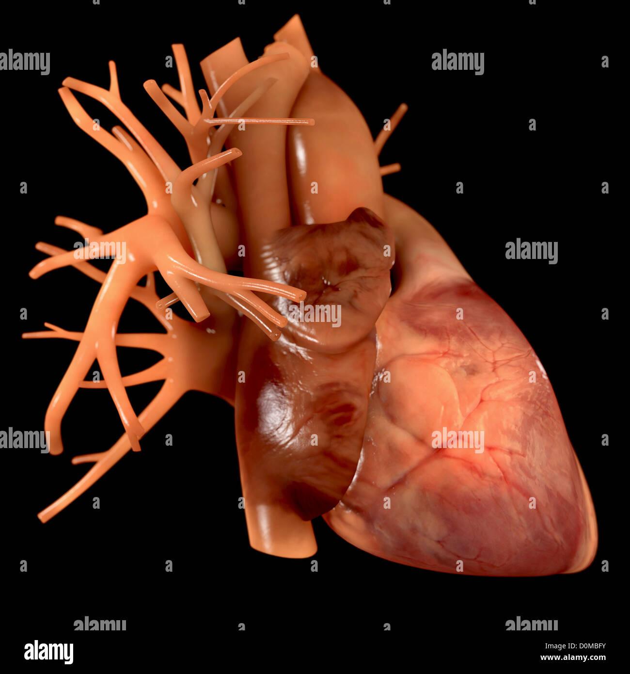 Vistoso Etiqueta Del Diagrama De La Anatomía Del Corazón Elaboración ...