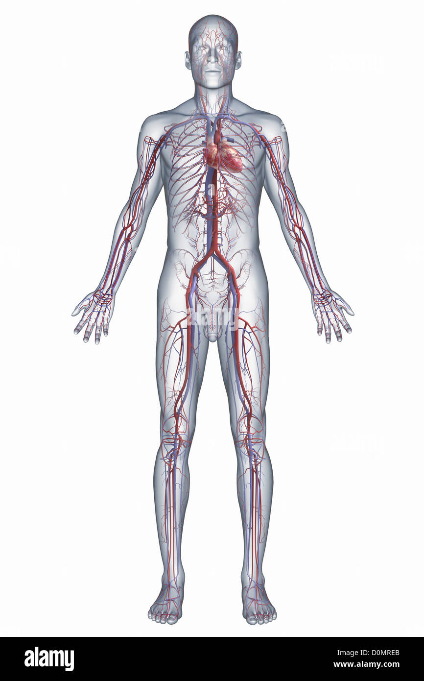 Una representación del sistema cardiovascular humano, incluyendo el ...