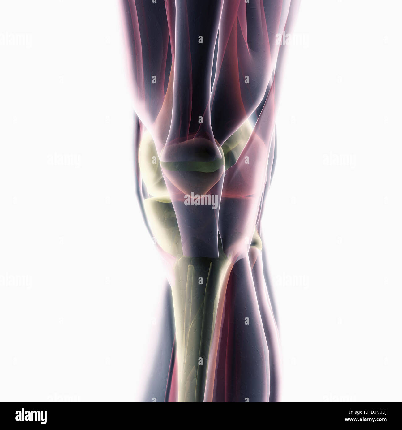 Modelo anatómico que muestra la estructura muscular de la rodilla. Imagen De Stock