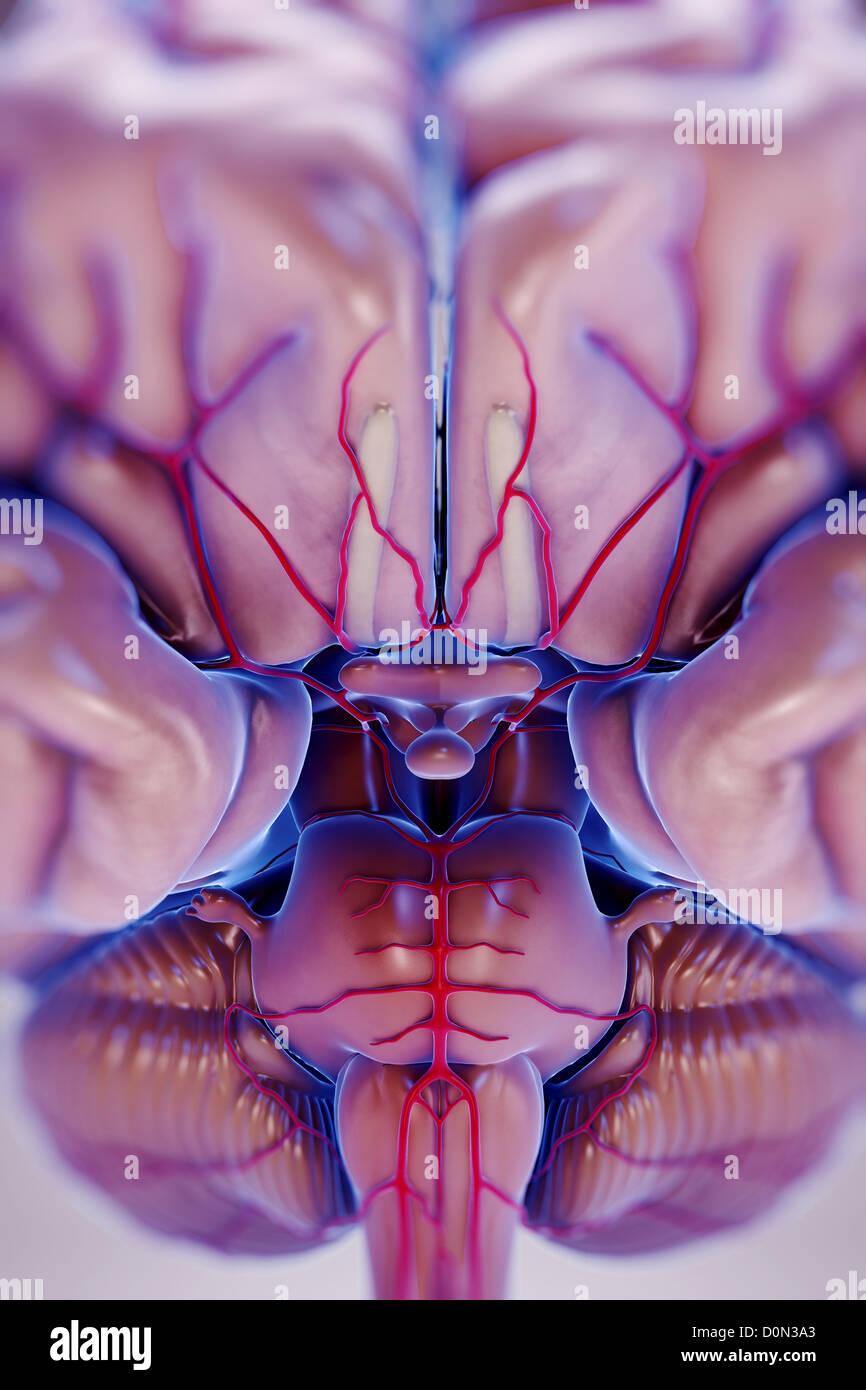 Brain With Arterial Supply Imágenes De Stock & Brain With Arterial ...