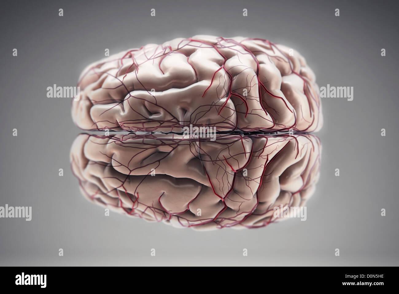 Longitudinal Cerebral Fissure Imágenes De Stock & Longitudinal ...