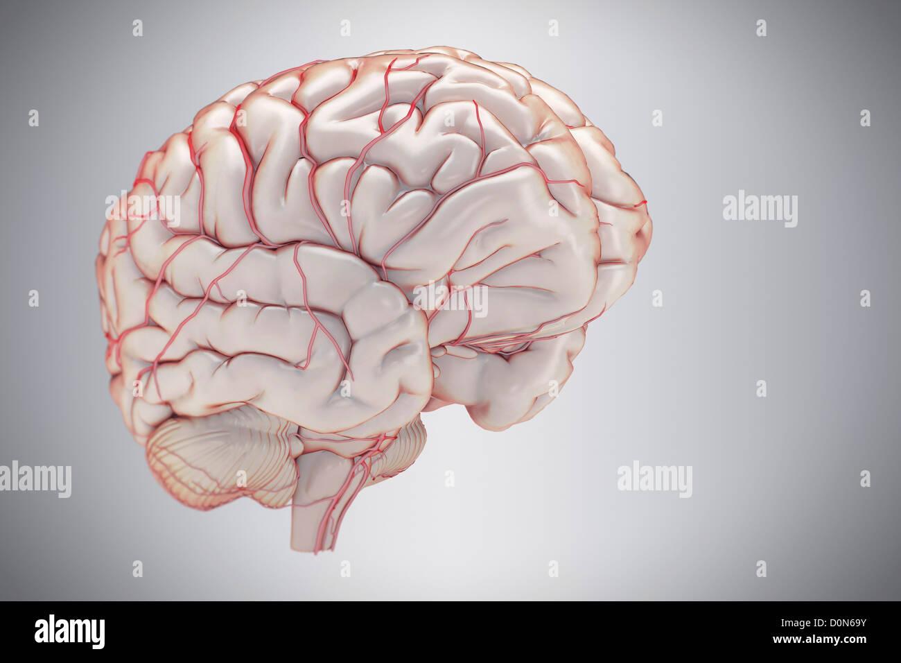 Brain Side View Imágenes De Stock & Brain Side View Fotos De Stock ...