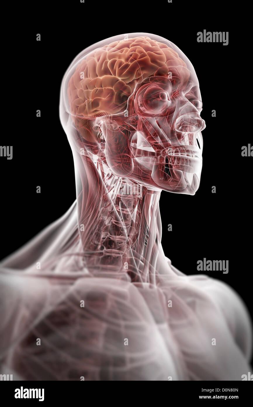 Una piel transparente revela músculos esquelético cuerpo superior ...