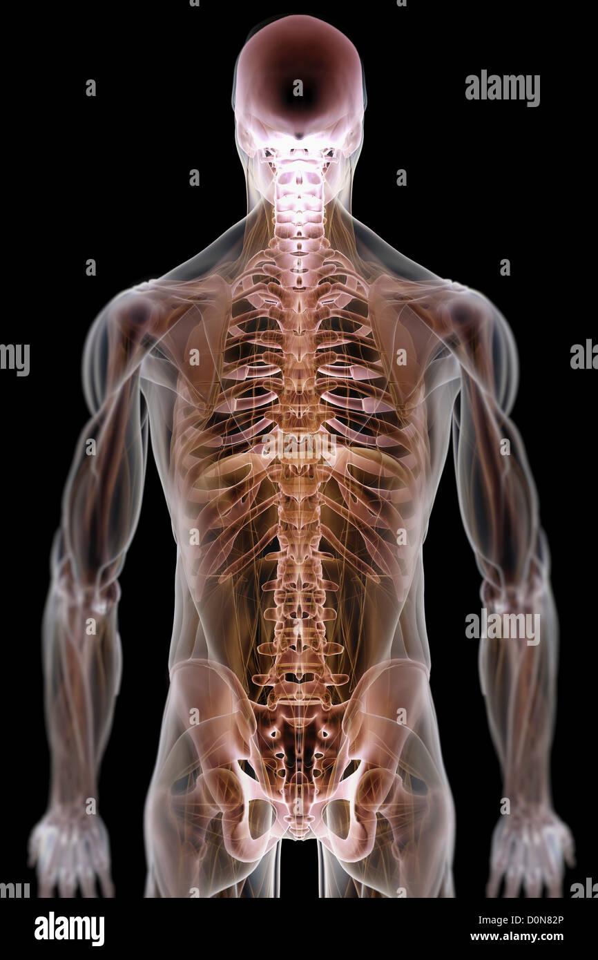 Una piel transparente revela músculos esqueléticos torso estructuras ...