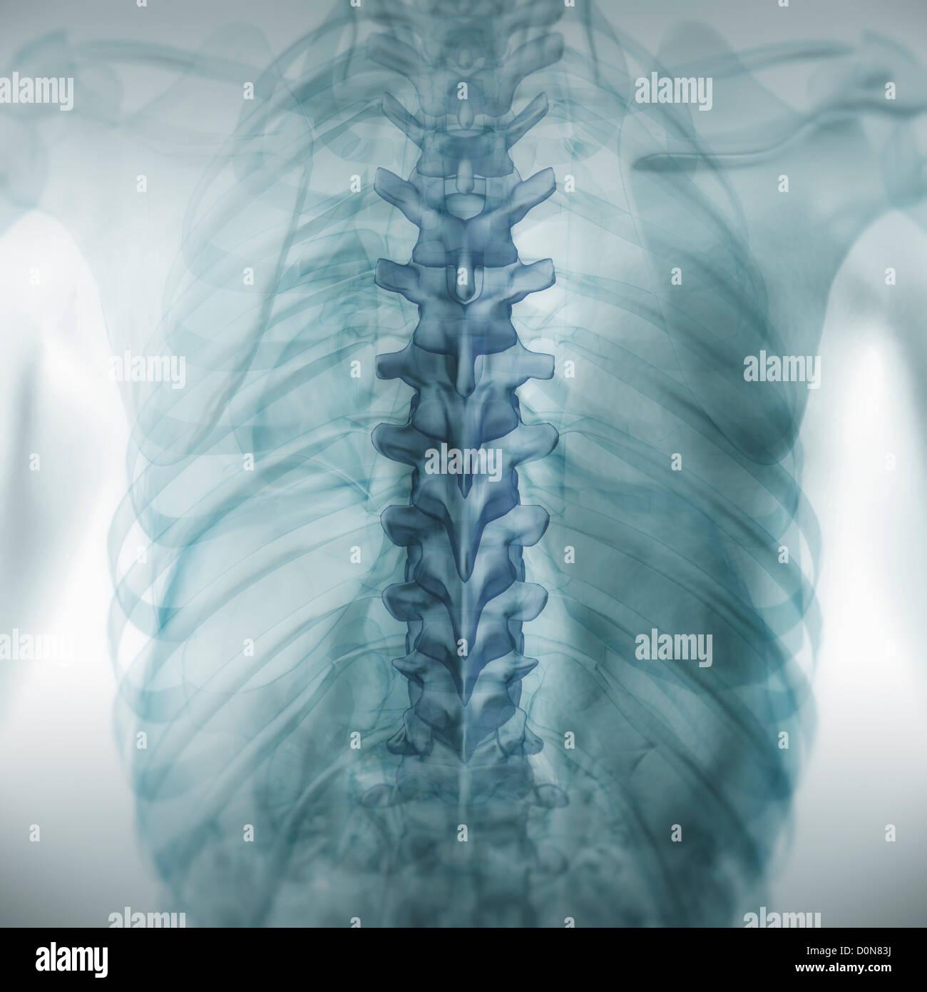 Vista trasera de la anatomía espalda piel transparente revelando ...