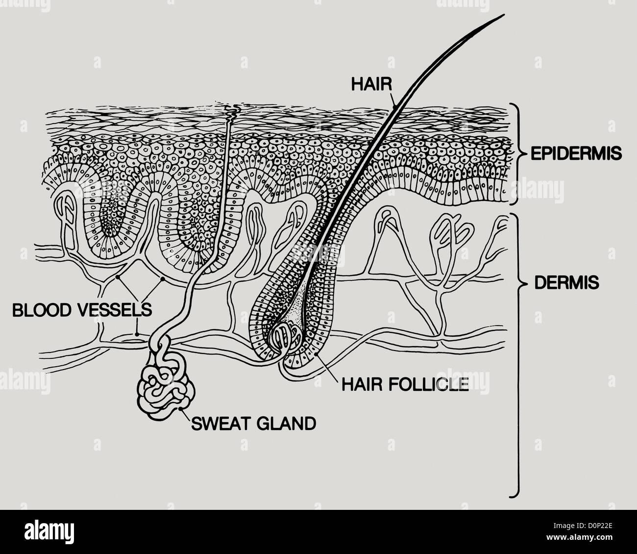Un diagrama de las capas de la piel humana. dos capas principales ...
