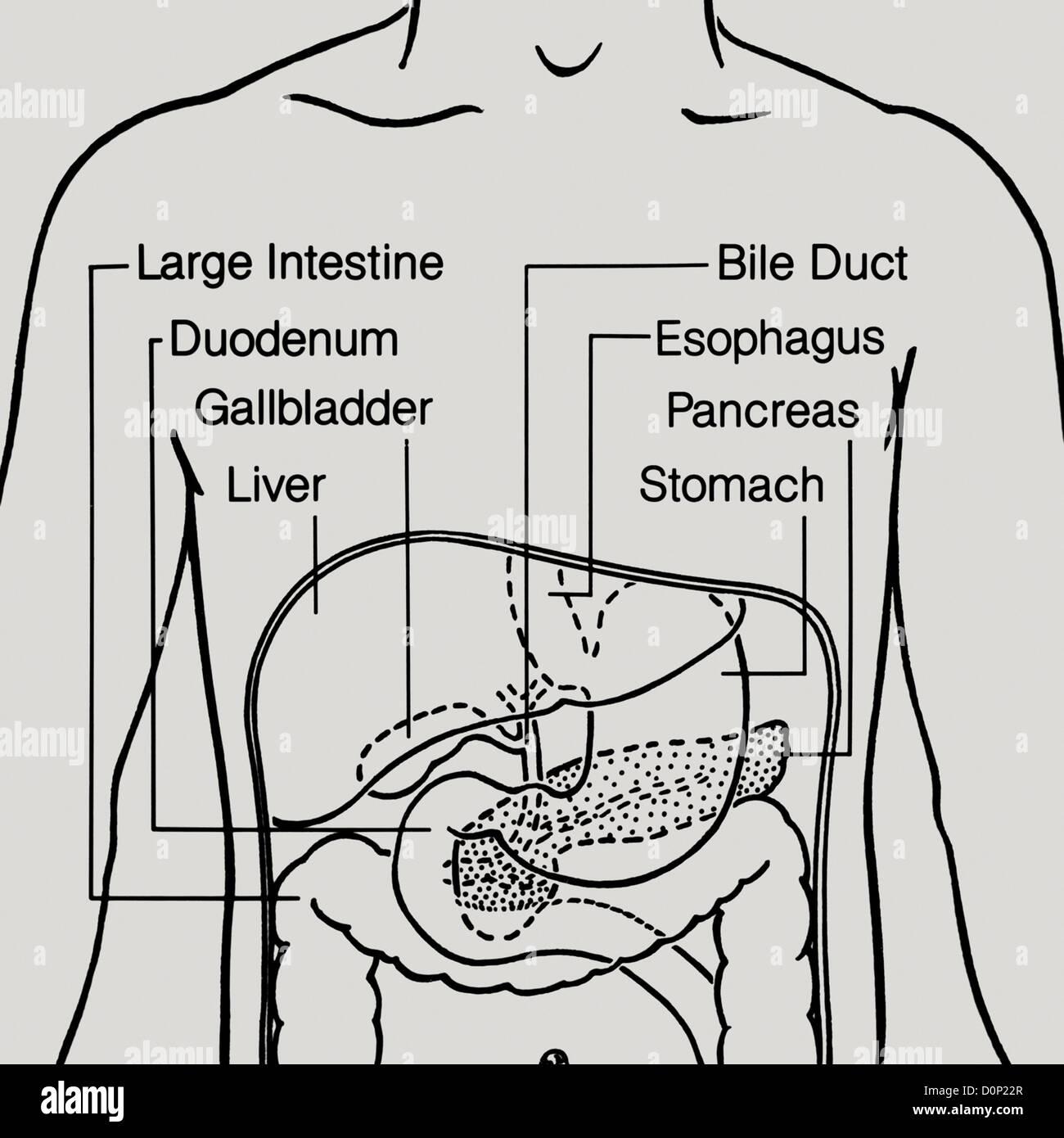 Un dibujo de la línea de la zona central del tracto digestivo humano ...