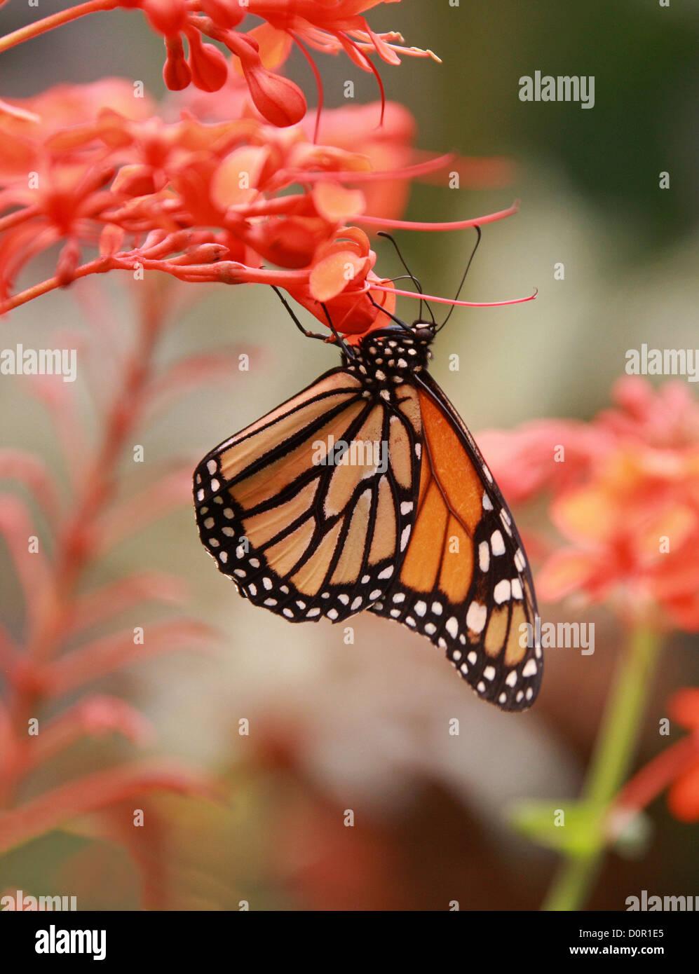 Mariposa Monarca, Danaus plexippus, Papilionoidea, Nymphalidae, Lepidoptera. Aka el Asclepias o Wanderer Butterfly. Ee.Uu.. Foto de stock