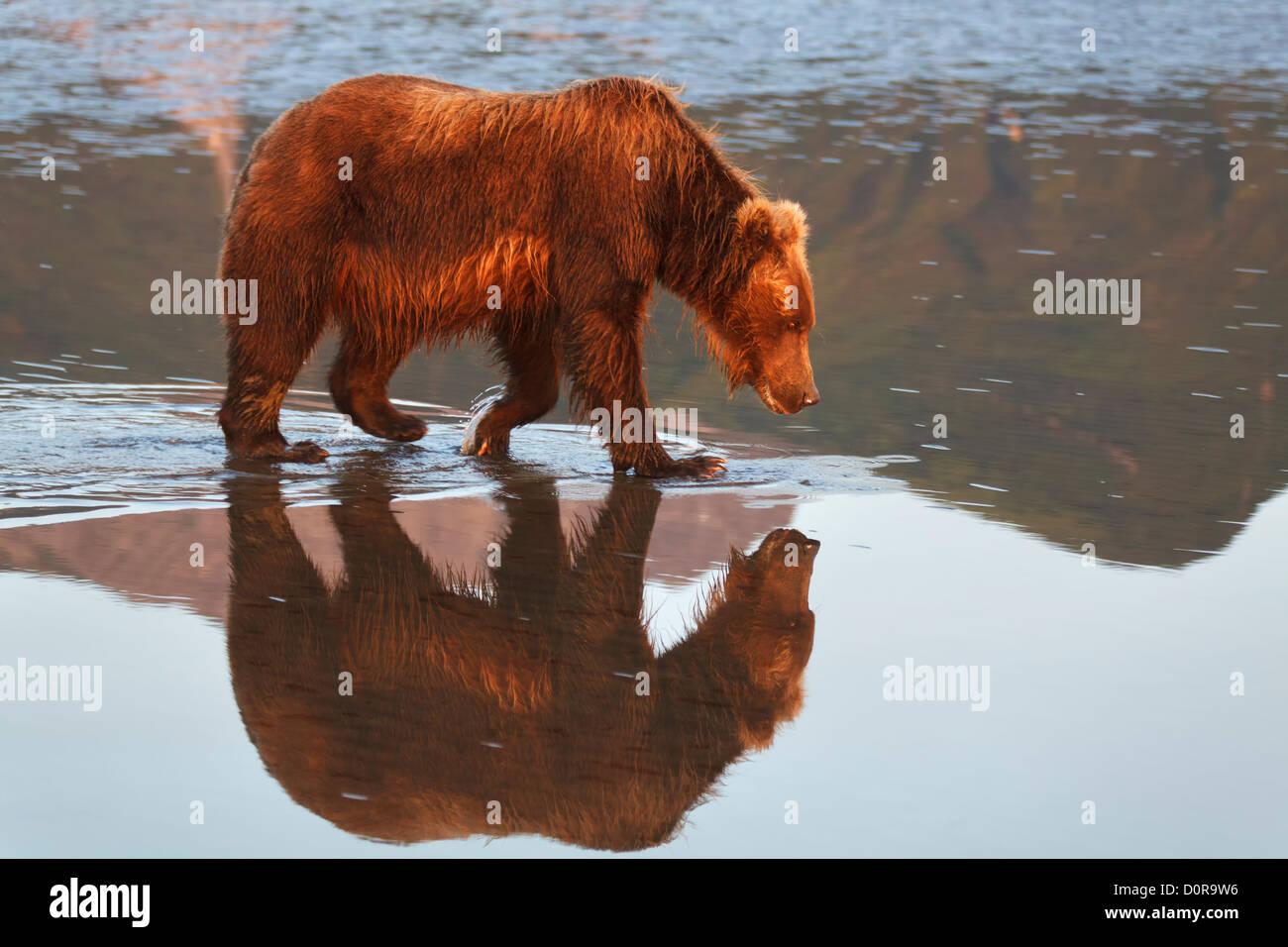Brown o Grizzly Bear, Lake Clark National Park, Alaska. Imagen De Stock