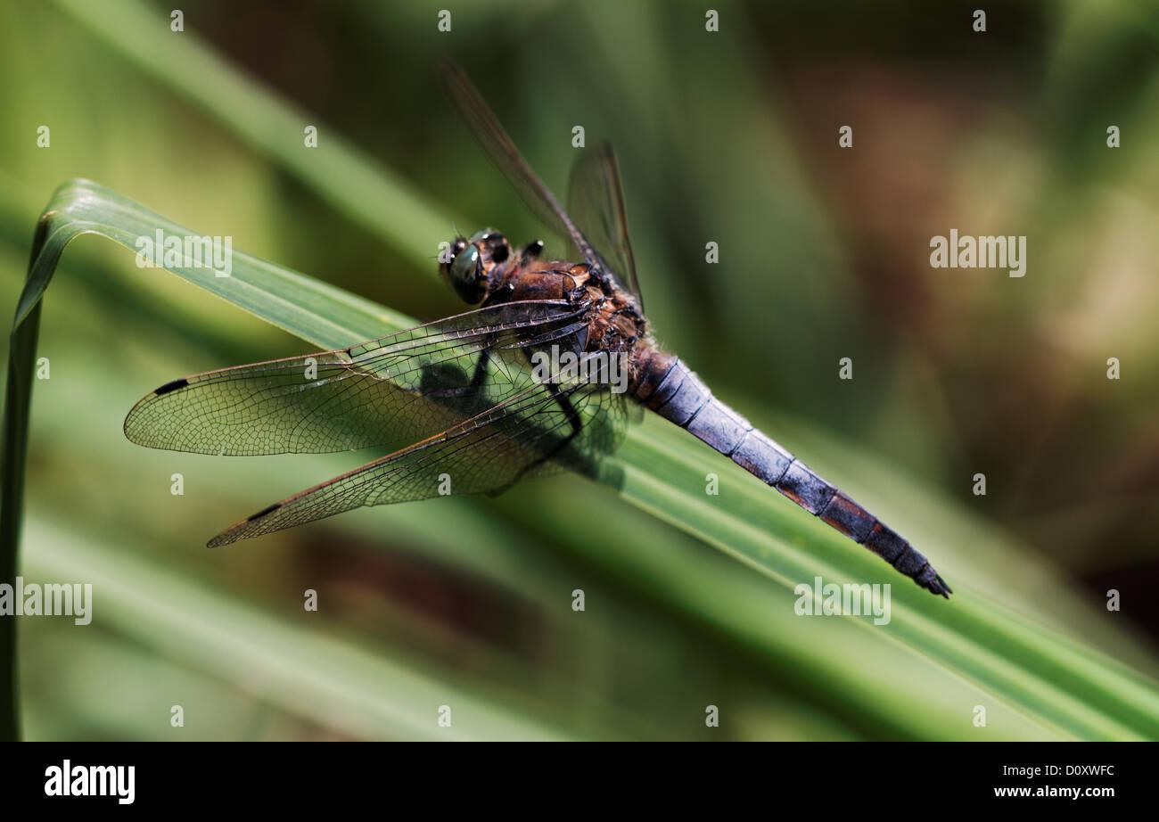 Fauna gran flecha azul insectos Inkwilersee cantón Solothurn Orthetrum cancellatum libélulas naturaleza Imagen De Stock