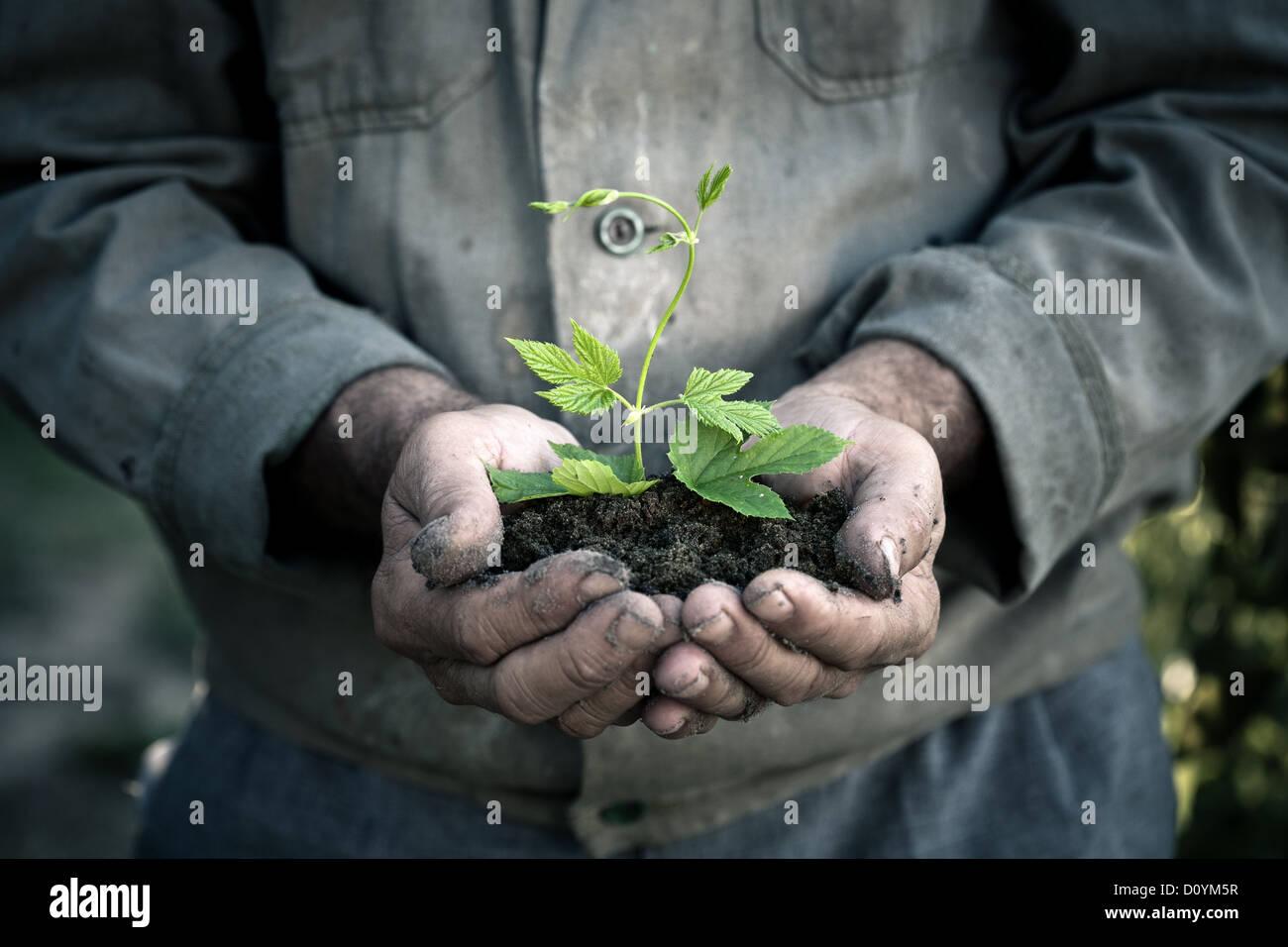 Hombre manos sosteniendo una planta joven verde Imagen De Stock