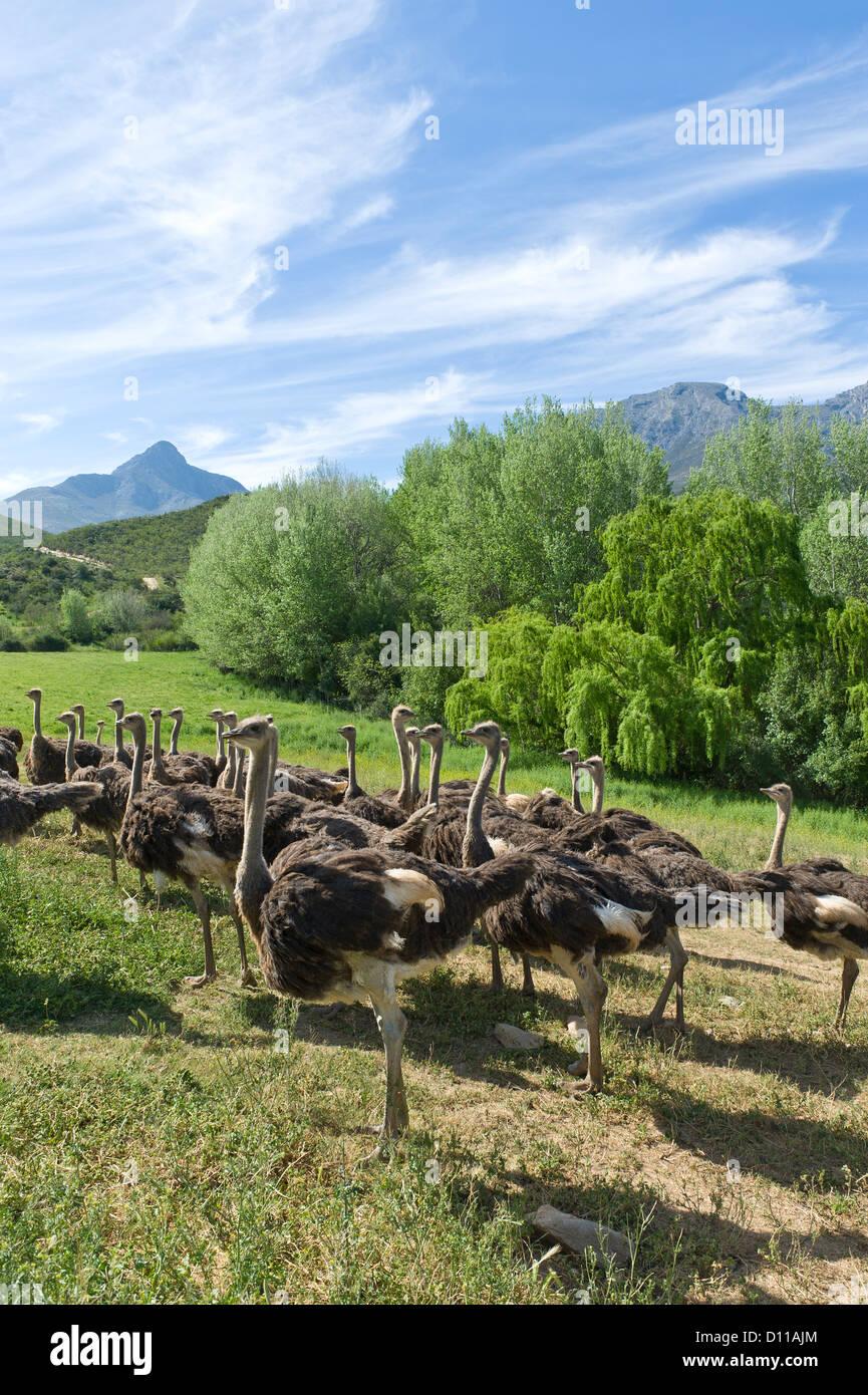 Granja de avestruces comerciales, Oudtshoorn, Western Cape, Sudáfrica Imagen De Stock
