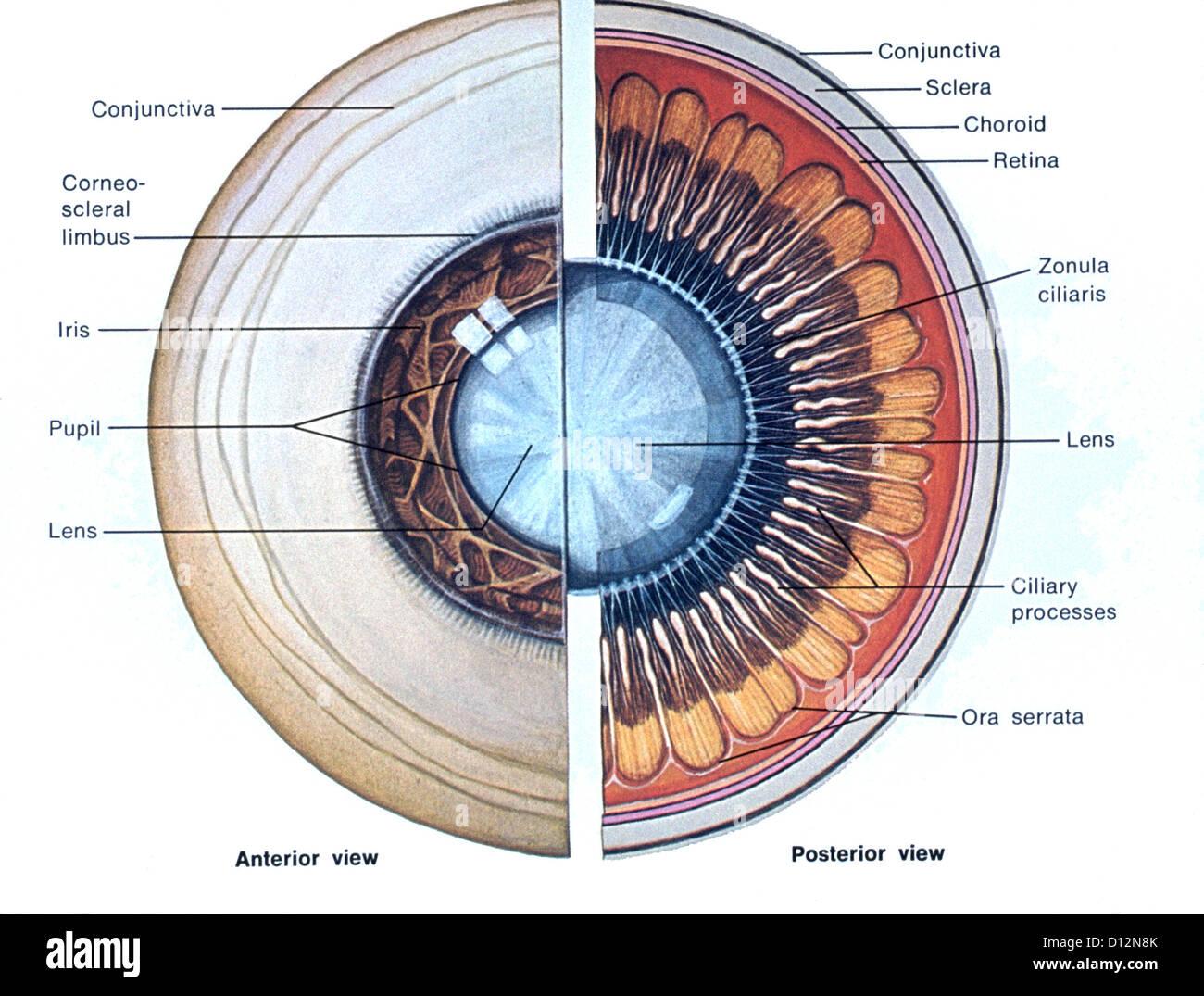 Anatomía del ojo ilustración Foto & Imagen De Stock: 52306371 - Alamy