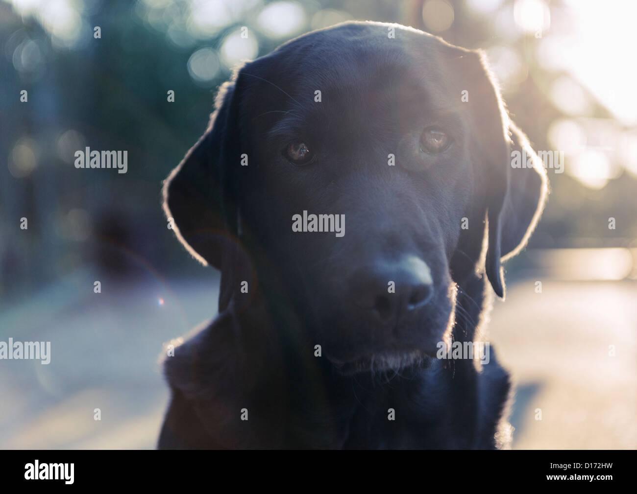 Retrato de un Labrador. Foto de stock