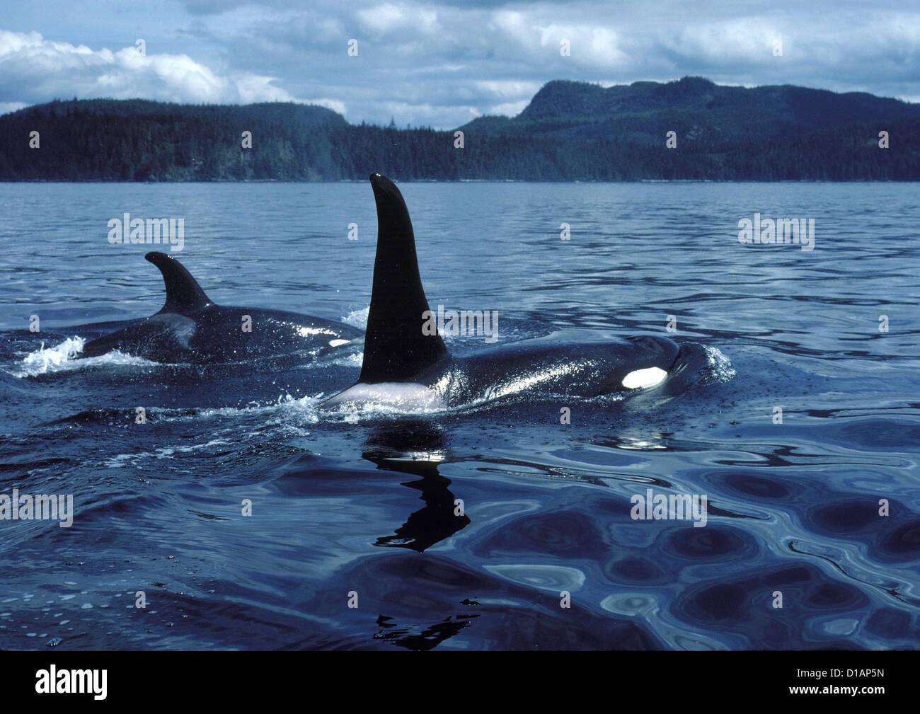 Killer whale; Orca.Orcinus orca.macho (aleta dorsal alta), y mujeres.fotografiado en Johnstone Strait, British Columbia, Canadá Foto de stock