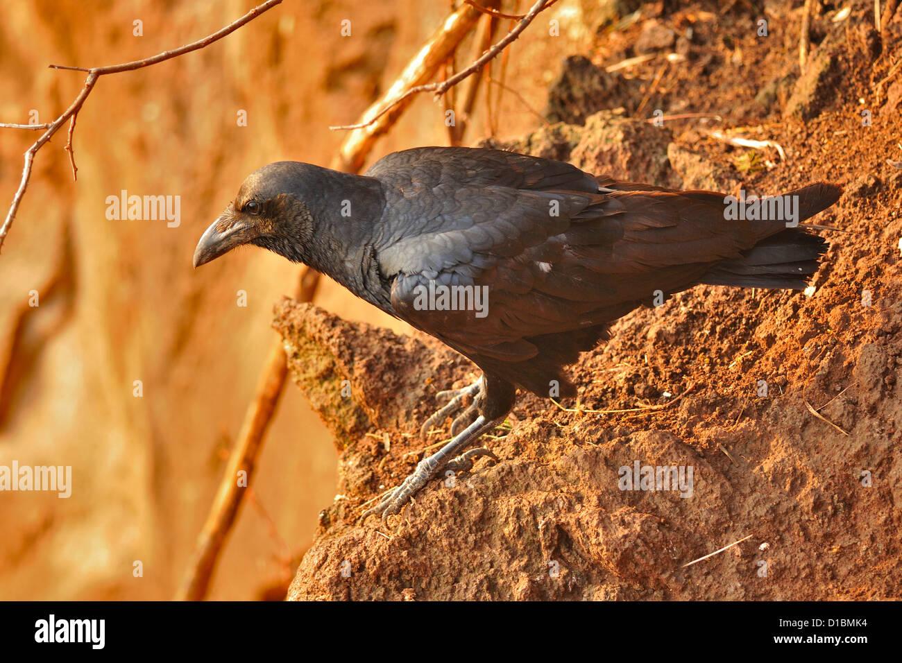Fan-talied Corvus ripidurus Raven, Corvidae, Parque Nacional Nechisar, Arna Minch, Etiopia, África Imagen De Stock