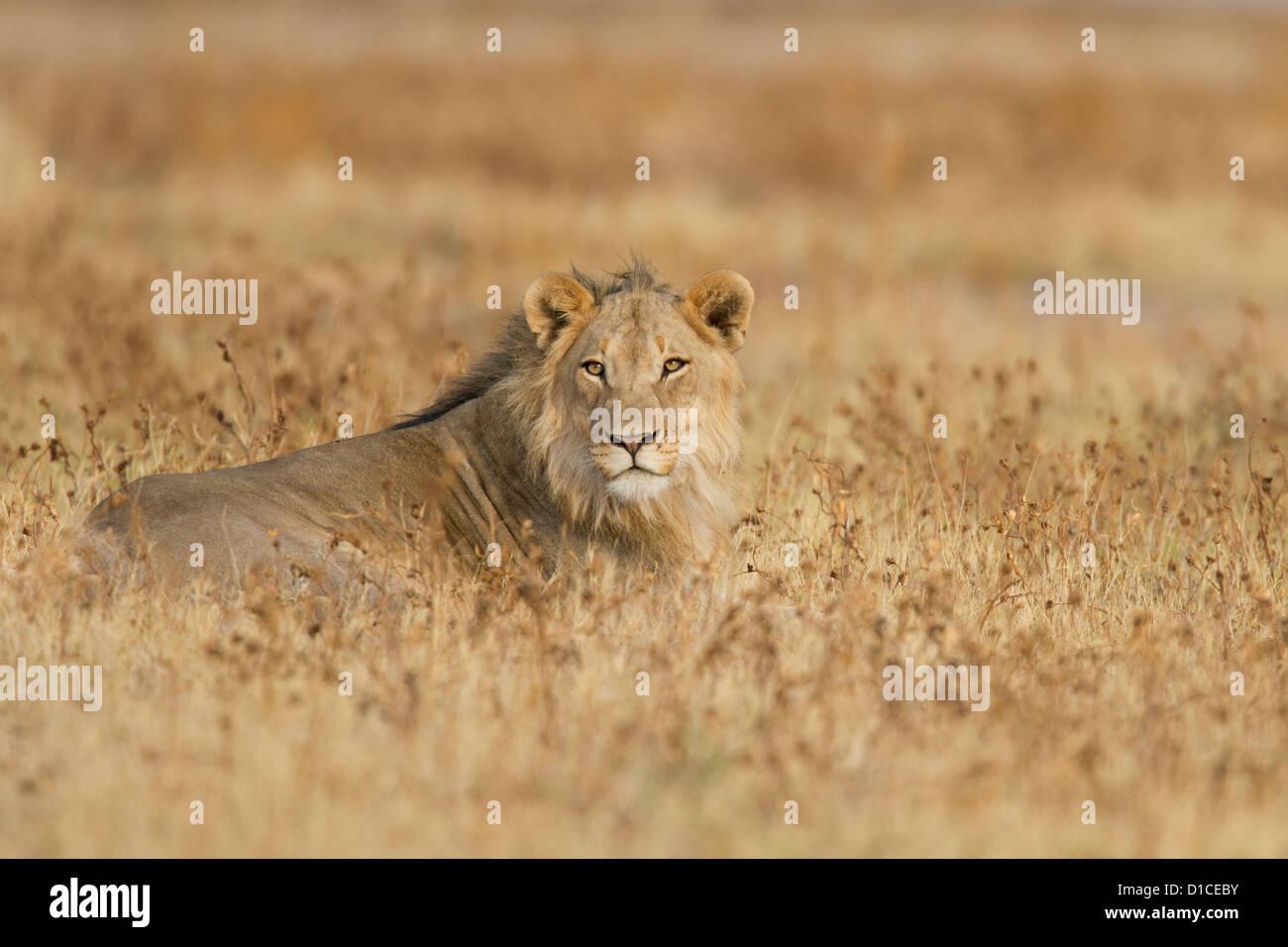 Macho joven león en el Parque Nacional Etosha, en Namibia Imagen De Stock