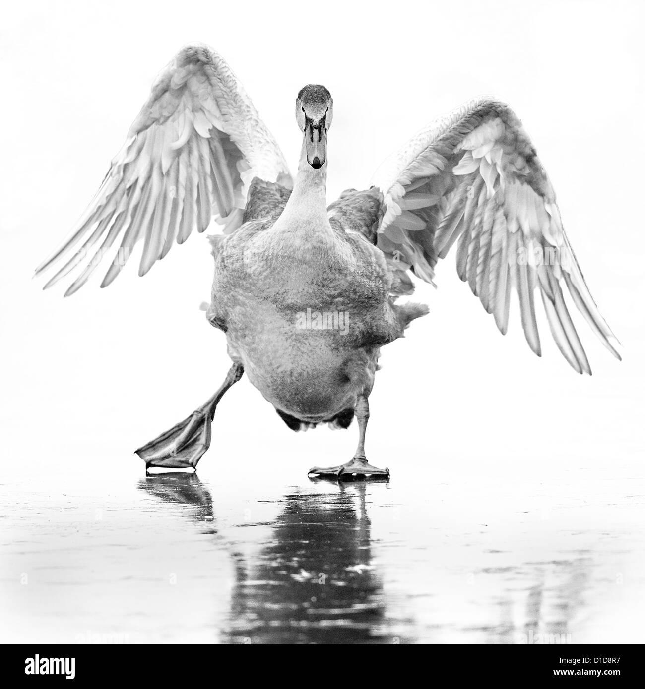 Un joven cisne (Cygnus olor) se desliza sobre un lago congelado en el Lee Valley, Inglaterra. Imagen monocroma. Imagen De Stock
