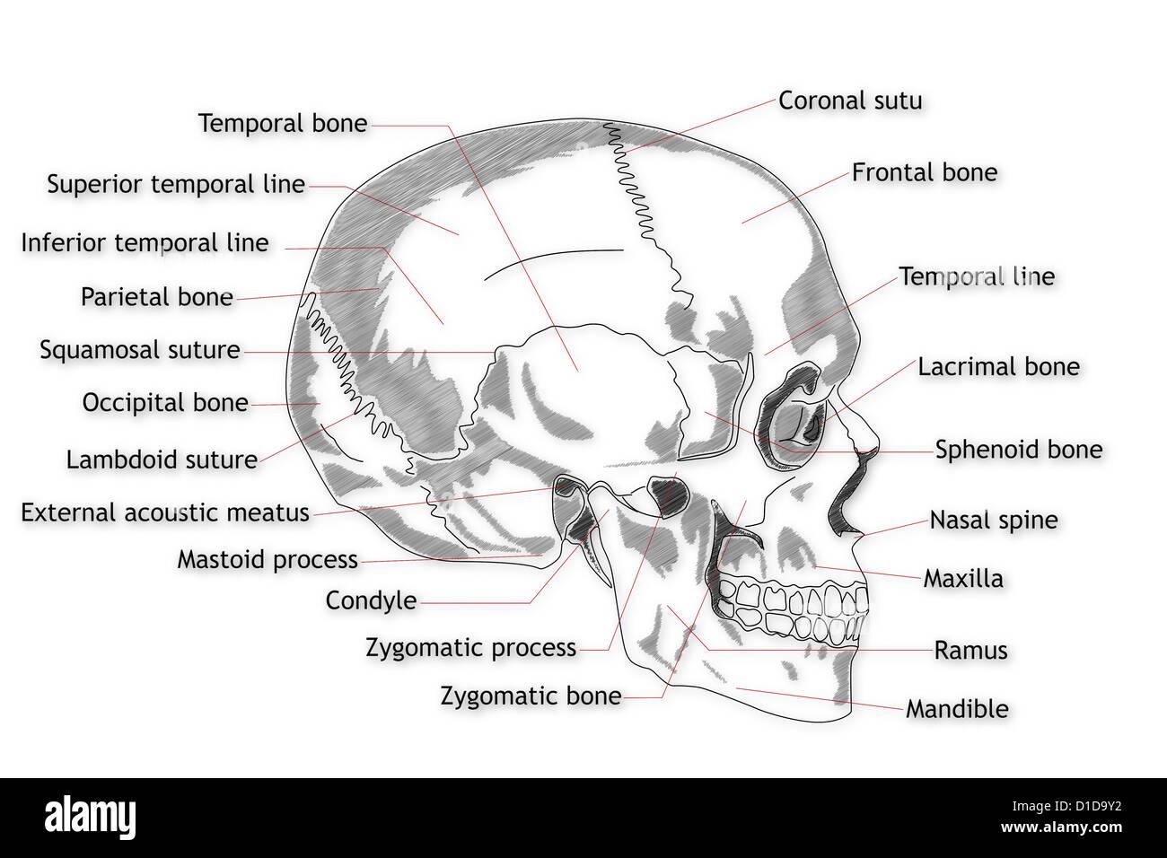Cráneo Humano Estructura Fotografía De Stock Alamy