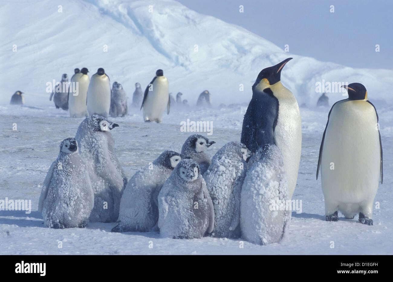 Los pingüinos emperador (Aptenodytes forsteri), glaciar Dawson-Lambton, Antártida Imagen De Stock
